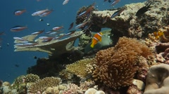 Tawny Nurse Shark resting in coral reef with fusiliers and anemonefish Stock Footage