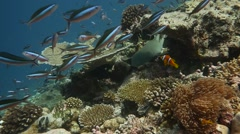Shark resting in coral reef surrounded by fish - stock footage