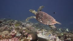 Turtle swims in front of diver pristine reef - stock footage