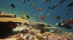 Diverse coral reef many fish Indian Ocean Stock Footage