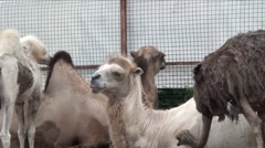 The camel and the ostrich behind the fence Stock Footage