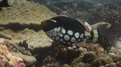 Clown Triggerfish swims over lush coral Stock Footage