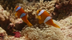 Chagos Anemonefish tight angle playing in anemone Stock Footage
