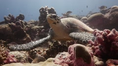 Sea Turtle raises head and stares directly at camera Stock Footage