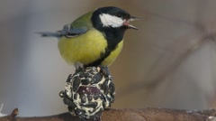 Great Tit  (Parus major) bite ball cobbled together from seeds and butter Stock Footage