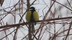 Great Tit  (Parus major) resting on a branch Stock Footage