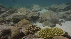 Two turtles moving over coral reef in slow motion Stock Footage