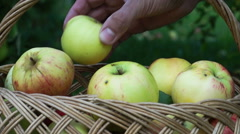 Collecting Ripe Apples to the Straw Basket Stock Footage