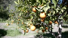 Ripe Oranges on a Branch Lit by the Sunlight. 4k Stock Footage