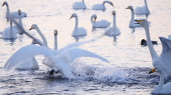 stock video footage courtship wild swans slow motion5 - stock footage