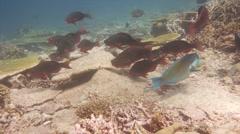Parrotfish School feeding on tropical reef Stock Footage