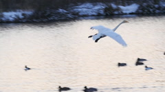 Stock video footage Swan  descends on the lake Stock Footage