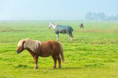 Chestnut stallion grazing on green grass Stock Photos