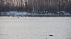 Stock video footage large flock of swans take to the lake Stock Footage