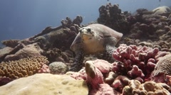 Hawksbill Turtle in the Chagos Archipelago Stock Footage