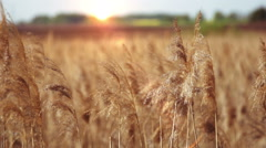 The cane on the backdrop of the setting sun Stock Footage