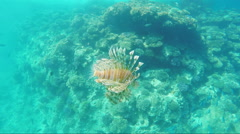 Exotic fish - Pterois miles - stock footage