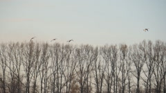Stock video footage Swan flock at sunset falls on the lake Stock Footage