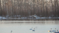 stock video footage Swan sinks to the lake - stock footage