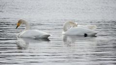 Swan lake 11 Stock Footage