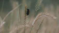 insect parasite on wheat - stock footage