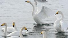 Swans lake10 Stock Footage