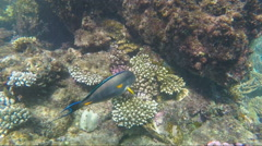 Exotic Red Sea fish  fish-surgeon Stock Footage