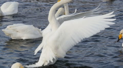 dance of the wild Swan - stock footage
