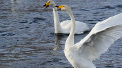 Wild swans mating dance 1 Stock Footage