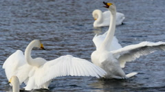 wild swans couple in love - stock footage