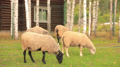 Autumn landscape. Several beautiful sheep grazing the green grass among the b Stock Footage