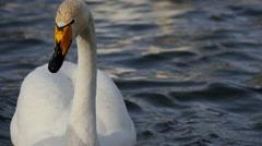 Wild swans Stock Footage