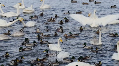 Swans lake Stock Footage