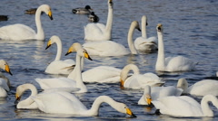Wild swans, winter in the Altai  Stock Footage