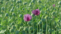 Stock Video Footage of Blooming poppy flower and green cocoons
