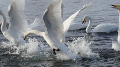 courtship of wild swans - stock footage