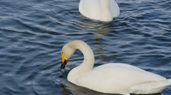 wild swans - stock footage