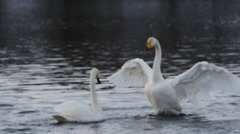 Swan love, wild swans form pairs in the spring - stock footage