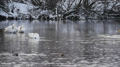 swans in winter - stock footage