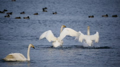 Swan mating dance - stock footage