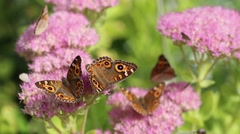 Beautiful butterflies on flowers Stock Footage