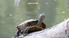 Turtle at pond Stock Footage