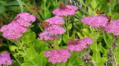 Beautiful butterflies on flowers Stock Footage