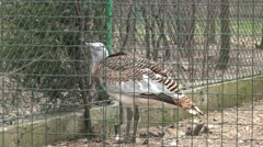 Bird of family of pheasant walking on grass, a prisoner behind bars at zoo - stock footage
