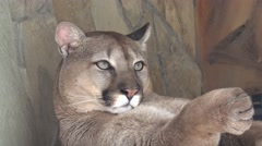 Head predator puma, animal is sleeping on shelf, in captivity, zoo Stock Footage