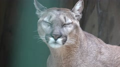 Head predator puma, animal is sleeping on shelf, in captivity, zoo Stock Footage