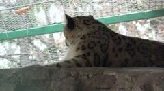 Predator Jaguar, animal is sleeping on shelf, in captivity, zoo Stock Footage