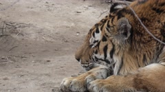 Bengal tiger lying inside enclosure on wooden platform, in captivity, zoo Stock Footage