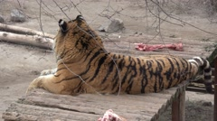 Bengal tiger lying inside the enclosure on wooden platform, in captivity, zoo Stock Footage