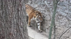 Bengal tiger walks inside the enclosure, in captivity, zoo Stock Footage